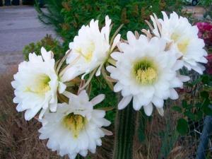 Cereus+blooming