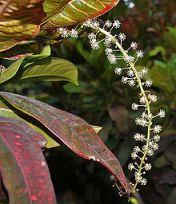 220px-Codiaeum_variegatum_(Croton)_in_Hyderabad,_AP_W_IMG_0473flowers