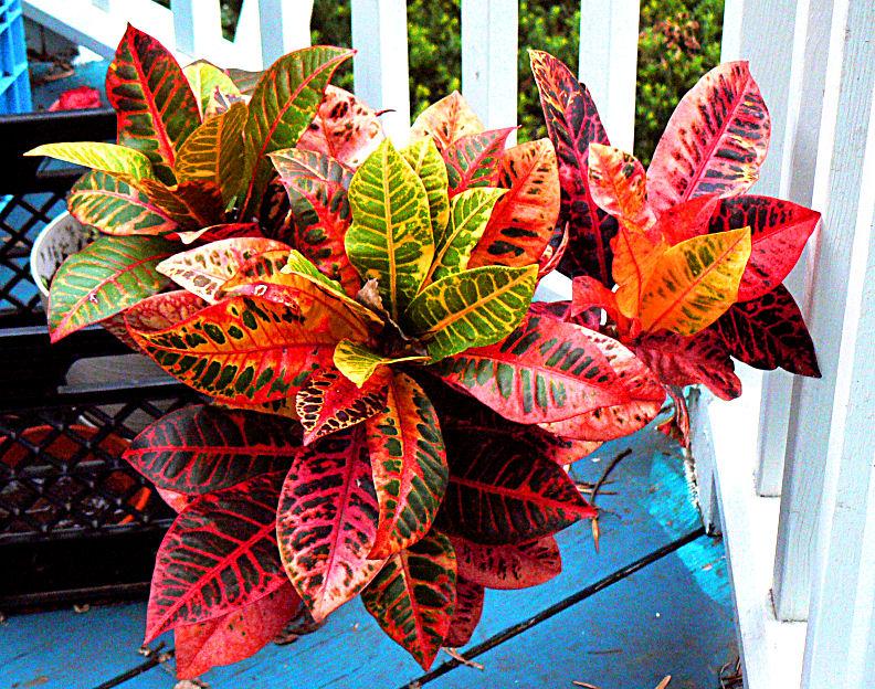Croton ust greenhouse project for Plantas de interior con poca luz