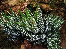 found at http://cactuslover.blogspot.com/2011/01/haworthia-fasciata.html