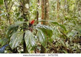 Anthurium epiphyte