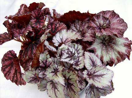 Rex begonia | UST Greenhouse project