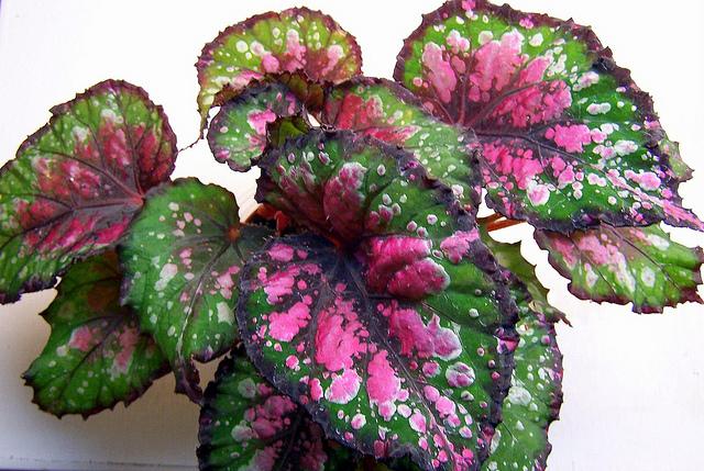 Rex Begonia Facts of The Rex Begonia