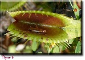 http://botany.org/Carnivorous_Plants/venus_flytrap.php