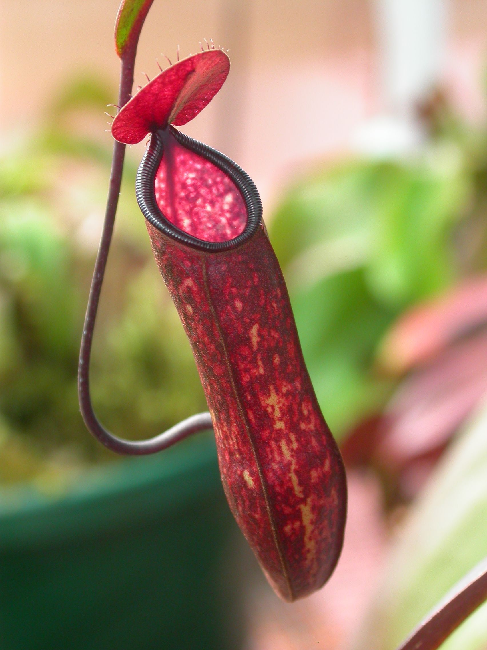 Pitcher plant ust greenhouse project for Plante carnivore