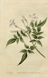c-327-jasmine-flower-a-bit-of-botany